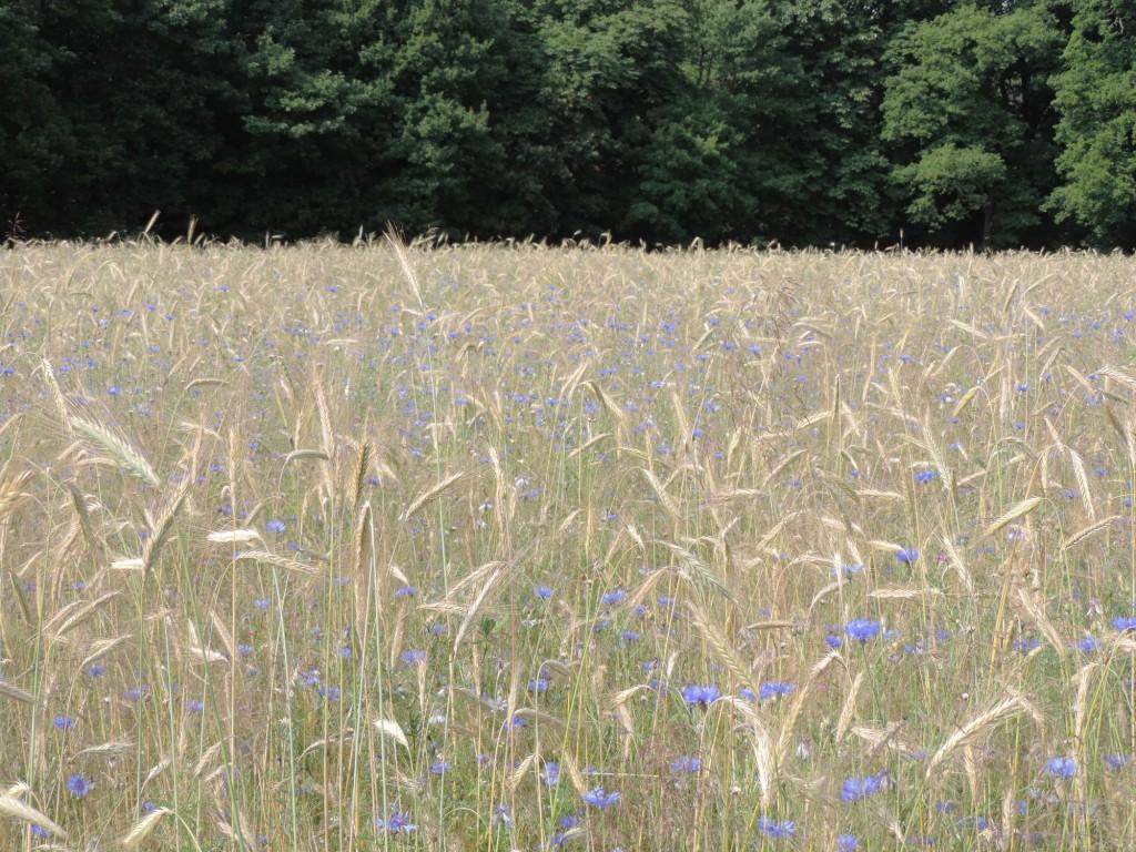 korenbloem-in-een-granen-veld